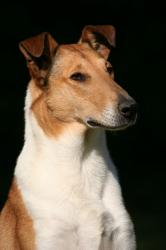 Twinway smooth collie